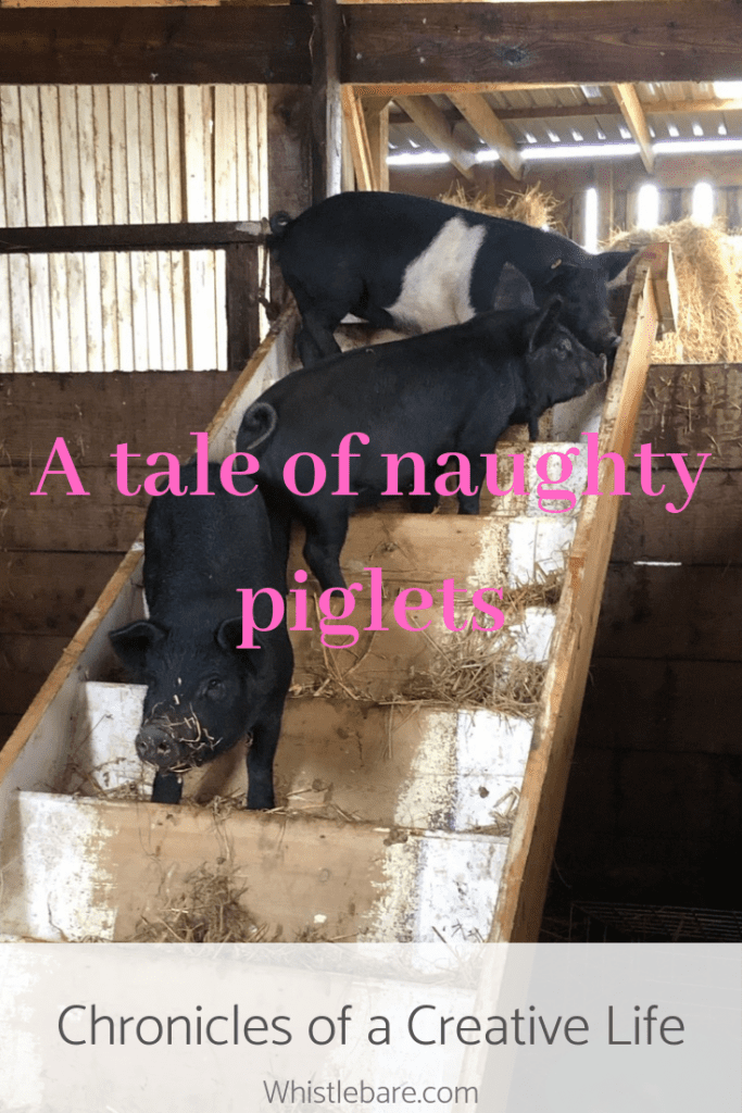 naughty piglets in stable